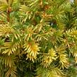 Tis červený 'Semperaurea' - Taxus baccata 'Semperaurea'