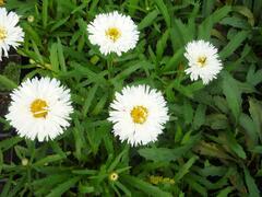 Kopretina velkokvětá 'Laspider' - Leucanthemum x superbum 'Laspider'