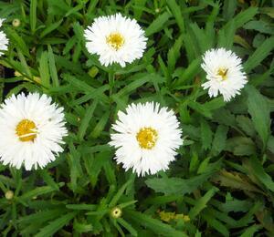 Kopretina 'Laspider' - Leucanthemum x superbum 'Laspider'