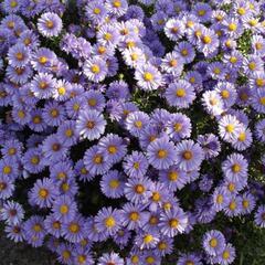 Hvězdnice keříčkovitá - Aster dumosus - fialovomodrá
