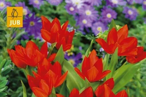 Tulipán botanický praestans 'Fusilier' - Tulipa praestans 'Fusilier'