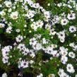 Hvězdnice novobelgická 'Magic White' - Aster novi-belgii 'Magic White'