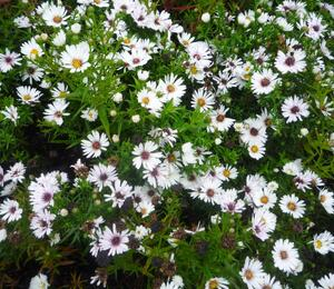 Hvězdnice novobelgická 'Magic White' - Aster novi-belgii 'Magic White'