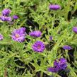 Hvězdnice novobelgická 'Magic Purple' - Aster novi-belgii 'Magic Purple'