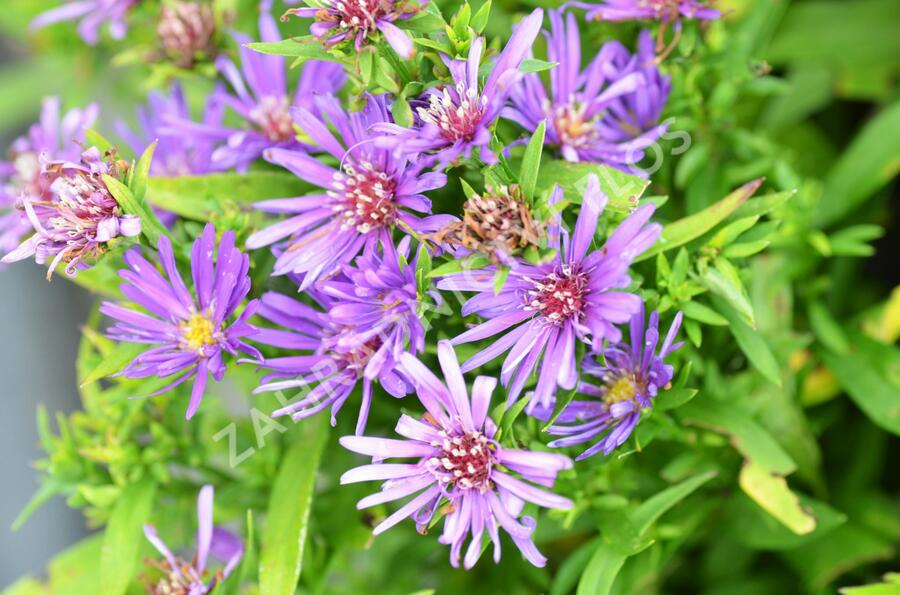 Hvězdnice novobelgická 'Magic Purple' - Aster novi-belgii 'Magic Purple'