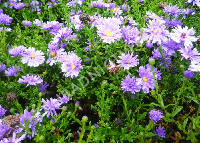 Hvězdnice novobelgická 'Magic Blue' - Aster novi-belgii 'Magic Blue'