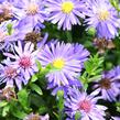 Hvězdnice novobelgická 'Magic Blue' - Aster novi-belgii 'Magic Blue'