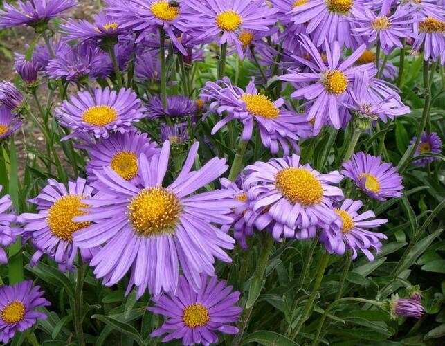 Hvězdnice chlumní 'Blütendecke' - Aster amellus 'Blütendecke'