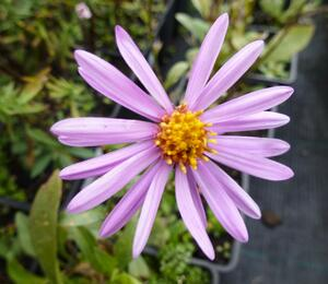 Hvězdnice chlumní 'Brilliant' - Aster amellus 'Brilliant'