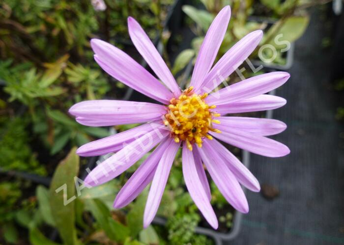 Hvězdnice chlumní 'Brilliant' - Aster amellus 'Brilliant'
