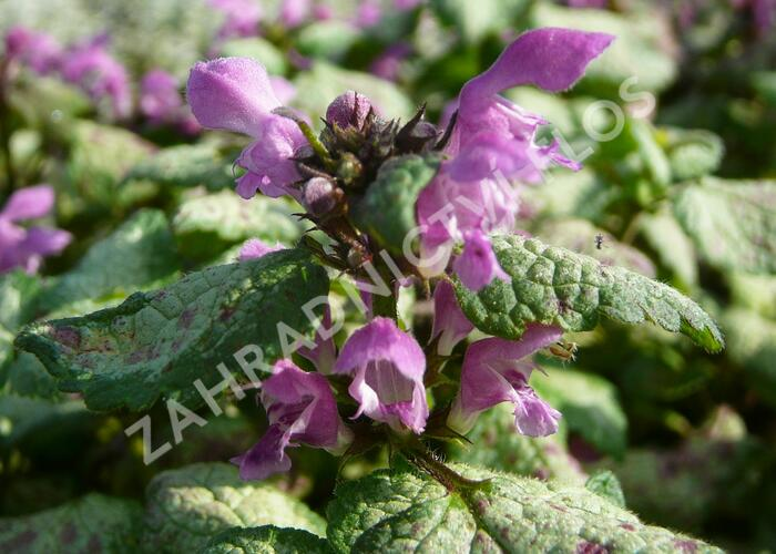 Hluchavka skvrnitá 'Red Nancy' - Lamium maculatum 'Red Nancy'