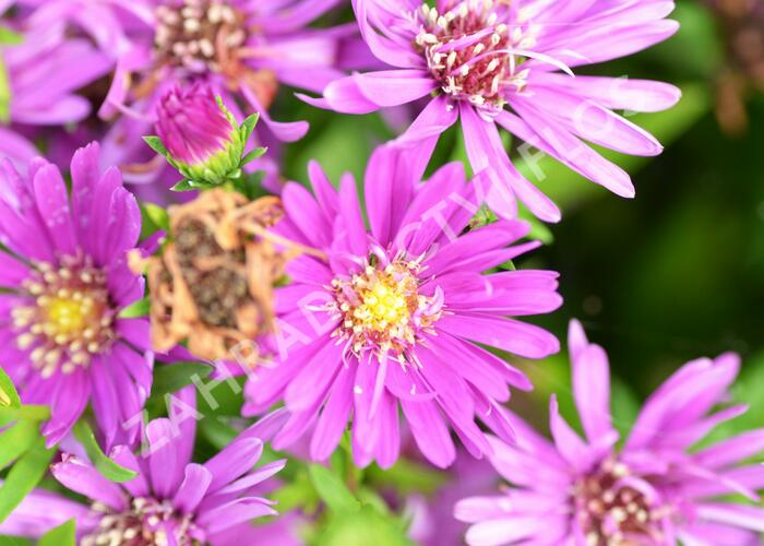 Hvězdnice novobelgická 'Magic Pink' - Aster novi-belgii 'Magic Pink'