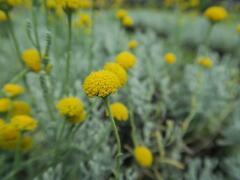 Svatolina cypřišová 'Yellow Buttons' - Santolina chamaecyparissus 'Yellow Buttons'