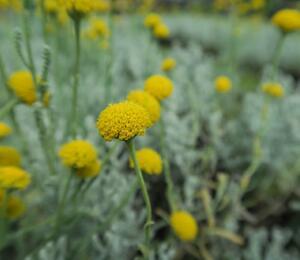 Svatolina cypřišková 'Yellow Buttons' - Santolina chamaecyparissus 'Yellow Buttons'