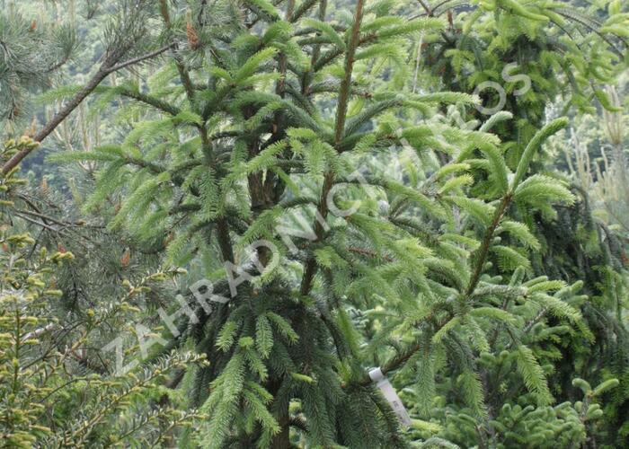 Smrk ztepilý 'Pyramidata' - Picea abies 'Pyramidata'