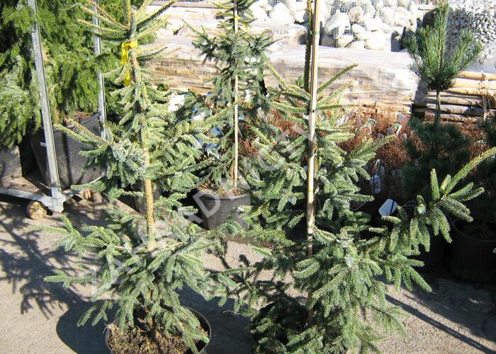 Smrk černý 'Aurea' - Picea mariana 'Aurea'