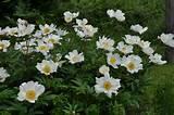 Pivoňka bělokvětá 'White Wings' - Paeonia lactiflora 'White Wings'