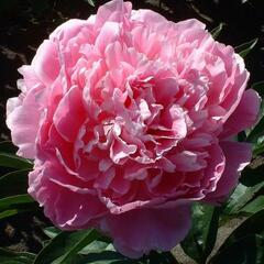 Pivoňka bělokvětá 'Pink Giant' - Paeonia lactiflora 'Pink Giant'