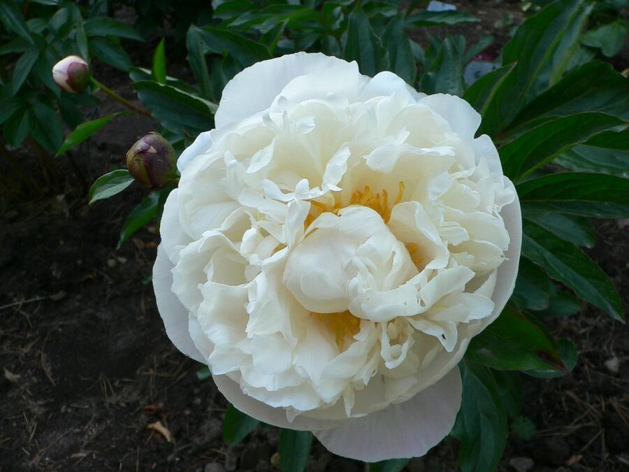 Pivoňka bělokvětá 'Gardenia' - Paeonia lactiflora 'Gardenia'