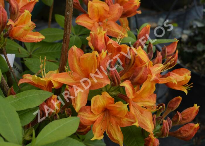 Azalka 'Golden Eagle' - Azalea (KH) 'Golden Eagle'