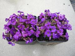 Tařička 'Glacier Deep Purple' - Aubrieta hybrida 'Glacier Deep Purple'