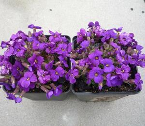 Tařička zahradní 'Glacier Deep Purple' - Aubrieta hybrida 'Glacier Deep Purple'