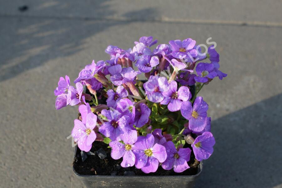 Tařička kosníkovitá 'Axcent Light Blue' - Aubrieta deltoides 'Axcent Light Blue'