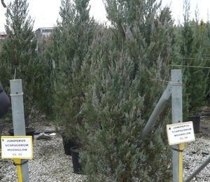 Jalovec skalní 'Moonglow' - Juniperus scopulorum 'Moonglow'