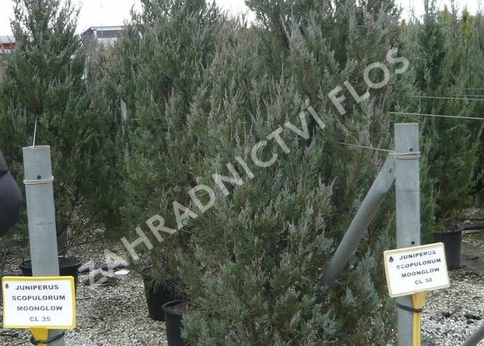 Jalovec skalní 'Moonglow' - Juniperus scopulorum 'Moonglow'