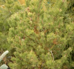 Borovice pokroucená 'Spaan's Dwarf' - Pinus contorta 'Spaan's Dwarf'