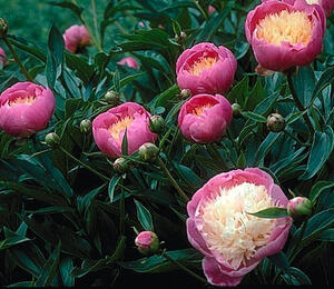 Pivoňka bělokvětá 'Bowl of Beauty' - Paeonia lactiflora 'Bowl of Beauty'