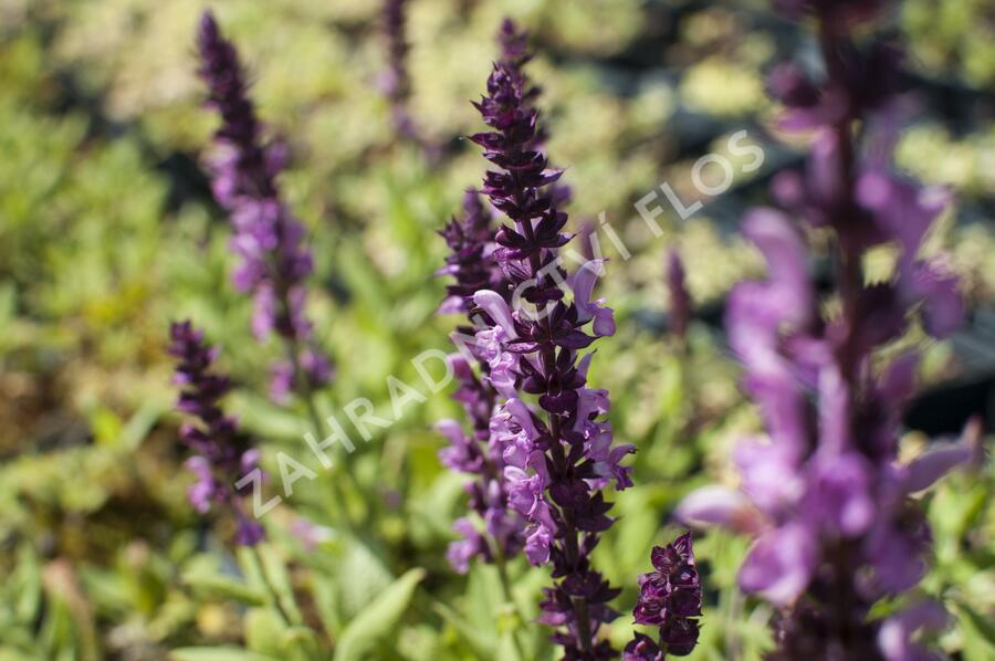 Šalvěj hajní 'Sensation Deep Rose' - Salvia nemorosa 'Sensation Deep Rose'