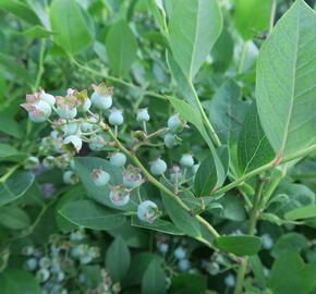 Borůvka chocholičnatá, kanadská borůvka 'Bluetta' - Vaccinium corymbosum 'Bluetta'
