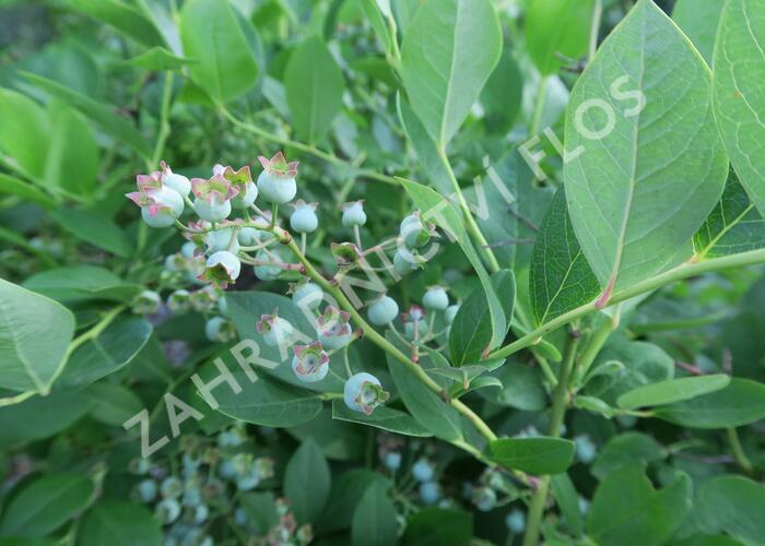 Borůvka chocholičnatá, kanadská borůvka - Vaccinium corymbosum 'Bluetta'