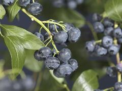 Borůvka chocholičnatá, kanadská borůvka 'Jersey' - Vaccinium corymbosum 'Jersey'