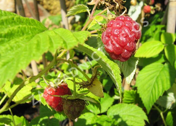 Maliník jednouplodící 'Rubín' - Rubus idaeus 'Rubín'