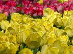 Tulipán třepenitý 'Hamilton' - Tulipa Fringed 'Hamilton'