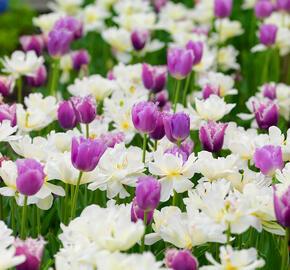 Tulipán třepenitý 'Cummins'® - Tulipa Fringed 'Cummins'