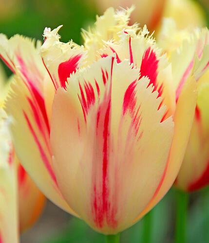 Tulipán třepenitý 'Carrousel' - Tulipa Fringed 'Carrousel'