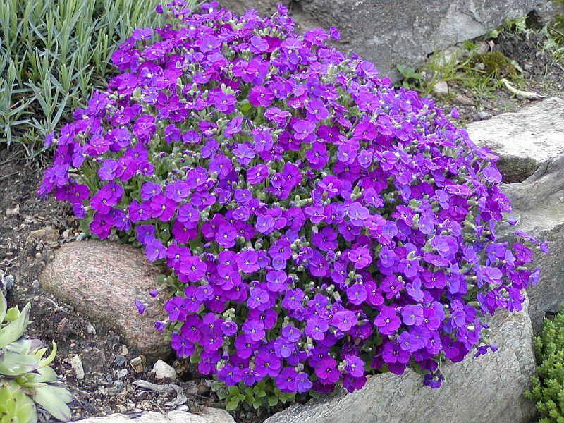 Tařička kosníkovitá 'Axcent Burgundy' - Aubrieta deltoides 'Axcent Burgundy'