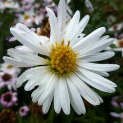 Hvězdnice novobelgická 'White Ladies' - Aster novi-belgii 'White Ladies'