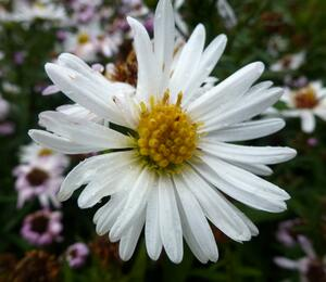 Hvězdnice novobelgická 'White Ladies' - Aster novi-belgii 'White Ladies'