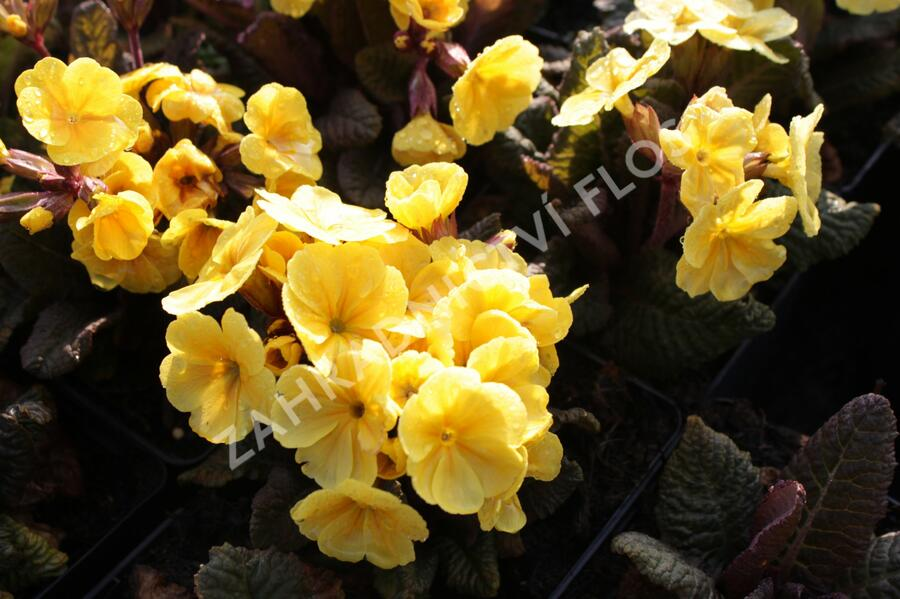 Prvosenka jarní 'Goldnugget Yellow' - Primula veris 'Goldnugget Yellow'