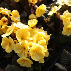 Prvosenka jarní 'Goldnugget Yellow' - Primula veris 'Goldnugget Yellow'
