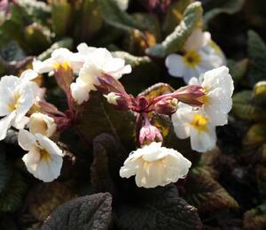 Prvosenka jarní 'Goldnugget White' - Primula veris 'Goldnugget White'
