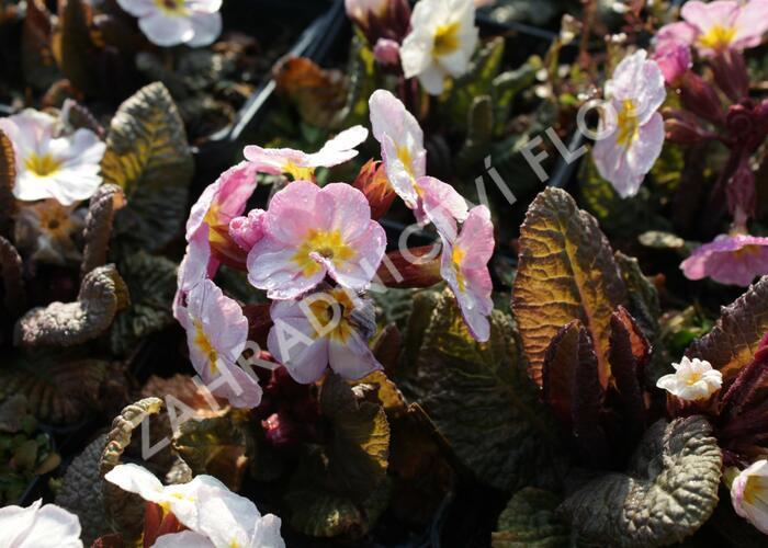 Prvosenka jarní 'Goldnugget Violet Shades' - Primula veris 'Goldnugget Violet Shades'