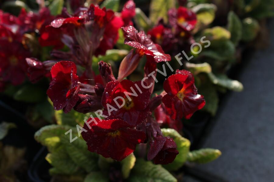 Prvosenka jarní 'Goldnugget Red' - Primula veris 'Goldnugget Red'