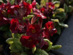 Prvosenka jarní 'Goldnugget Red' - Primula veris 'Goldnugget Red'
