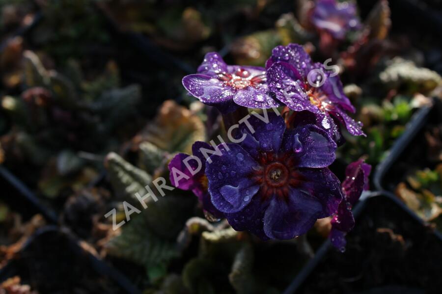 Prvosenka jarní 'Goldnugget Blue' - Primula veris 'Goldnugget Blue'