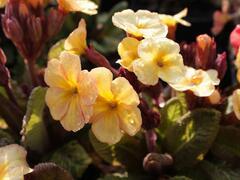 Prvosenka jarní 'Goldnugget Apricot' - Primula veris 'Goldnugget Apricot'